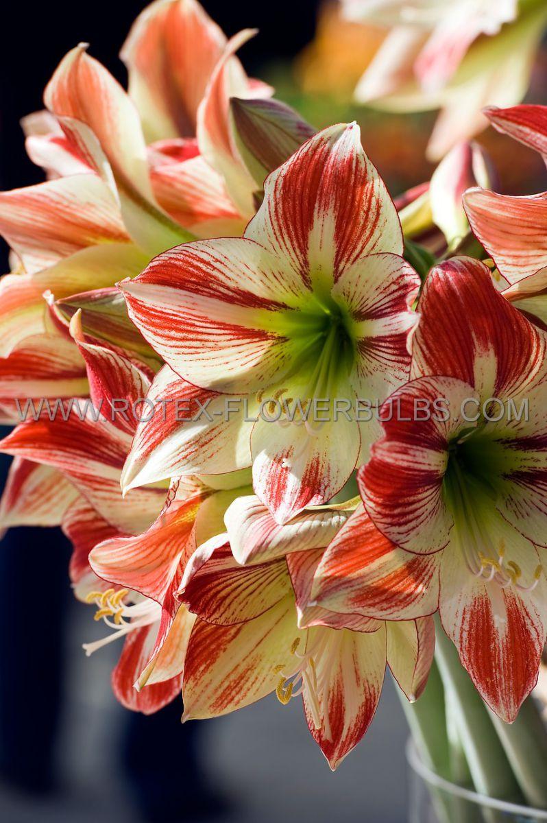 hippeastrum amaryllis large flowering clown jumbo 4042 cm 4 popen top box
