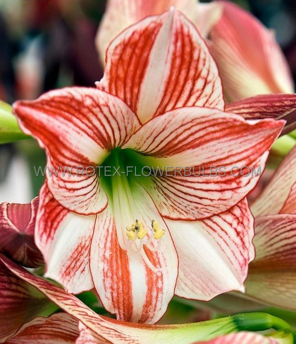 hippeastrum amaryllis large flowering clown jumbo 4042 cm 25 pcarton