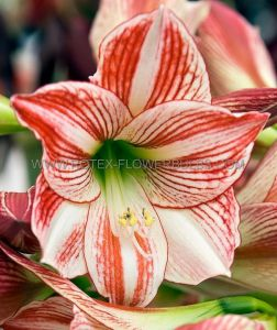 HIPPEASTRUM (AMARYLLIS) LARGE FLOWERING 'CLOWN' JUMBO 40/42 CM. (6 P.WOODEN CRATE)