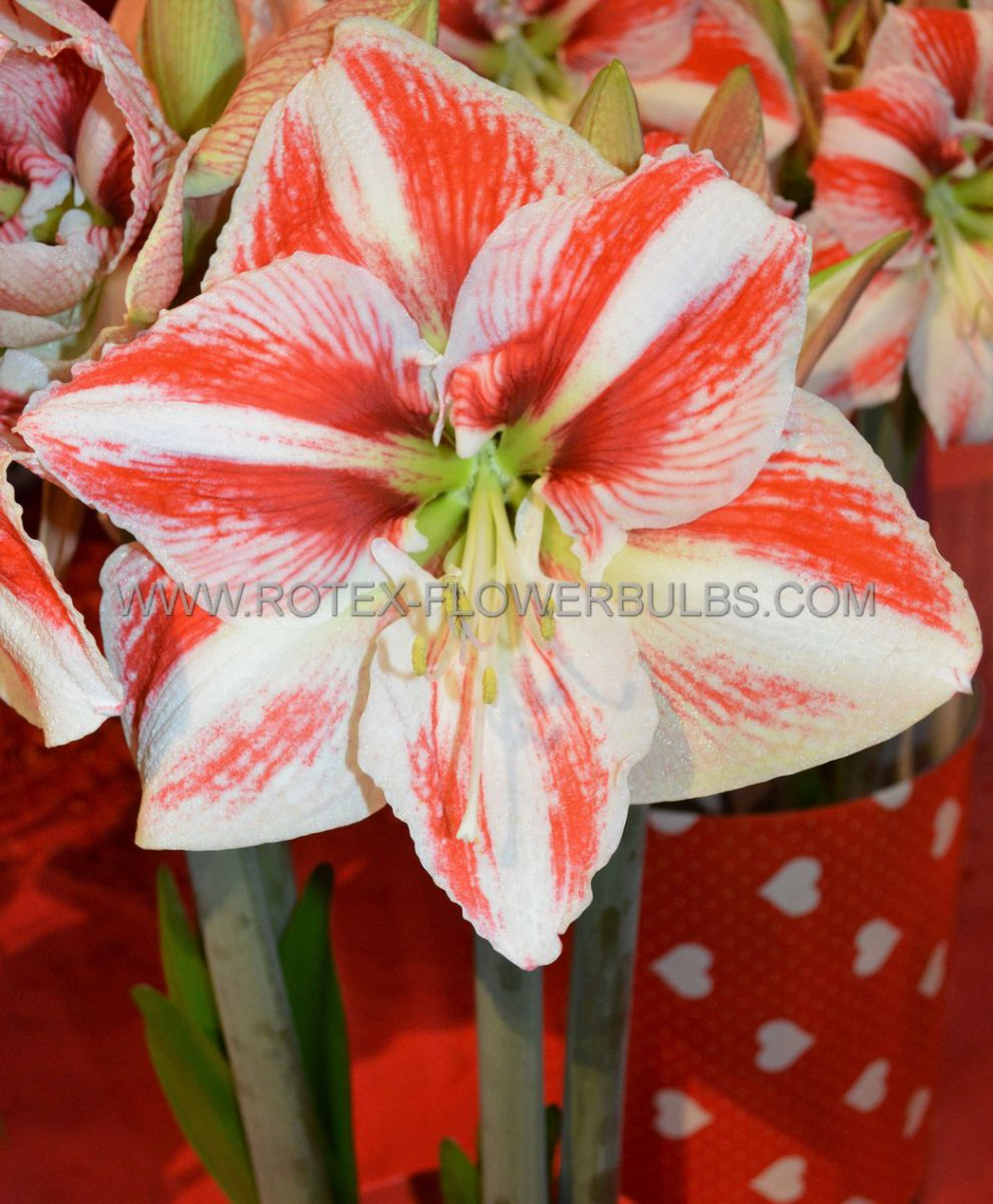 hippeastrum amaryllis large flowering clown jumbo 4042 cm 6 pwooden crate