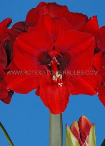 HIPPEASTRUM (AMARYLLIS) LARGE FLOWERING 'FERRARI' 34/36 CM. (6 P.OPEN TOP BOX)