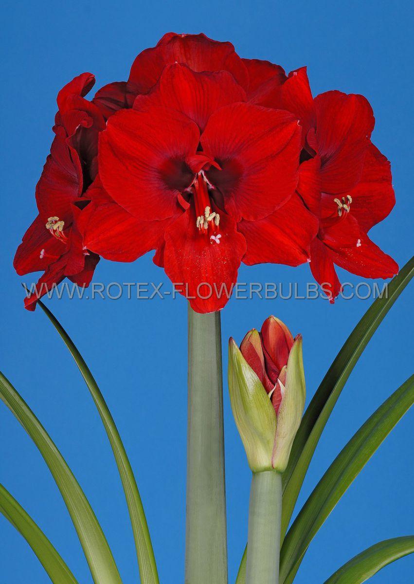 hippeastrum amaryllis large flowering ferrari 3436 cm 30 pcarton