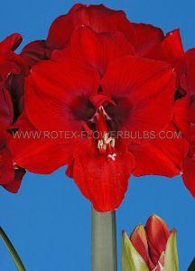HIPPEASTRUM (AMARYLLIS) LARGE FLOWERING 'FERRARI' 34/36 CM. (12 P.WOODEN CRATE)