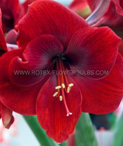HIPPEASTRUM (AMARYLLIS) LARGE FLOWERING 'MAGNUM' 34/36 CM. (6 P.OPEN TOP BOX)