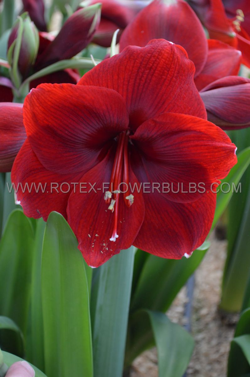 hippeastrum amaryllis large flowering magnum 3436 cm 6 popen top box