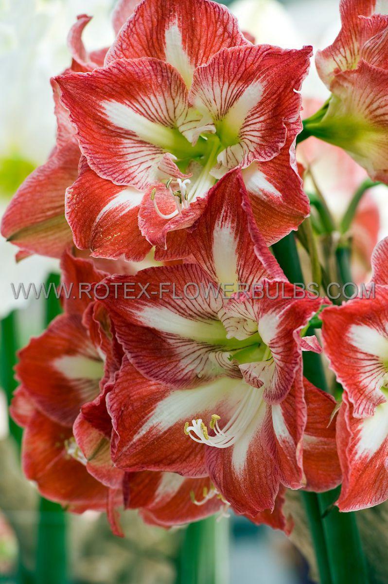 hippeastrum amaryllis large flowering minerva 2628 cm 50 pcarton
