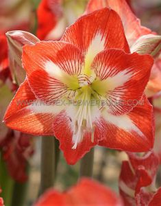 HIPPEASTRUM (AMARYLLIS) LARGE FLOWERING 'MINERVA' 34/36 CM. (6 P.OPEN TOP BOX)