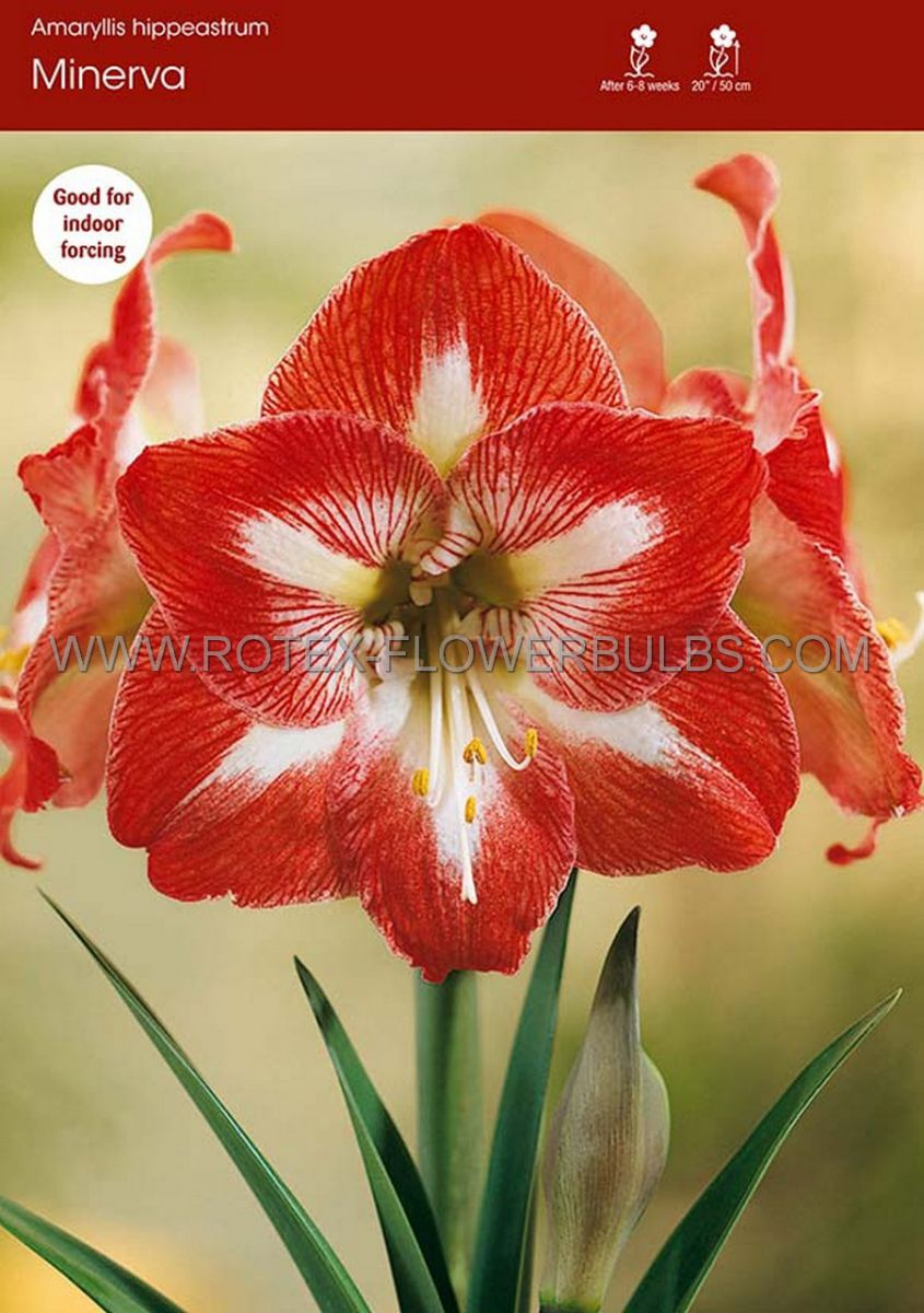 hippeastrum amaryllis large flowering minerva 3436 cm 6 popen top box