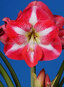 HIPPEASTRUM (AMARYLLIS) LARGE FLOWERING 'MONTE CARLO' 34/36 CM. (6 P.OPEN TOP BOX)