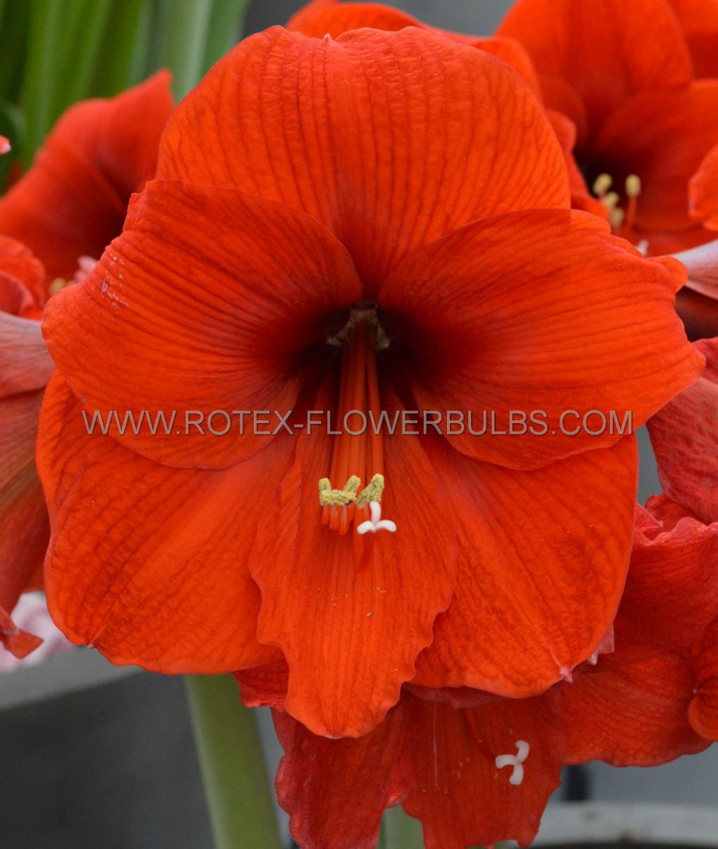 hippeastrum amaryllis large flowering orange souvereign 3436 cm 6 popen top box