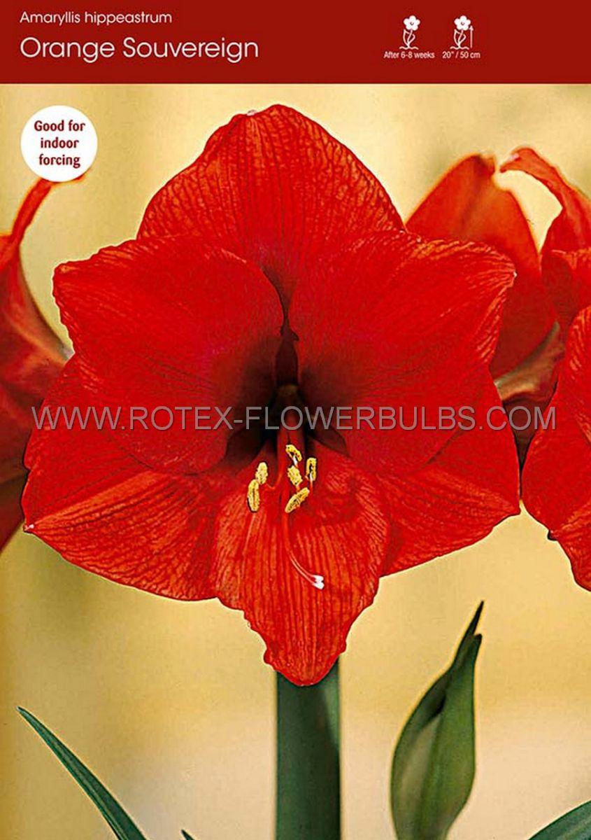 hippeastrum amaryllis large flowering orange souvereign 3436 cm 30 pcarton