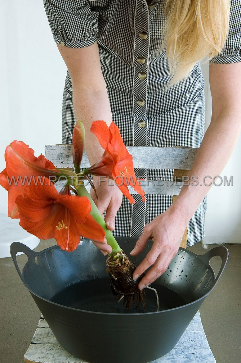 hippeastrum amaryllis large flowering orange souvereign jumbo 4042 cm 6 pwooden crate