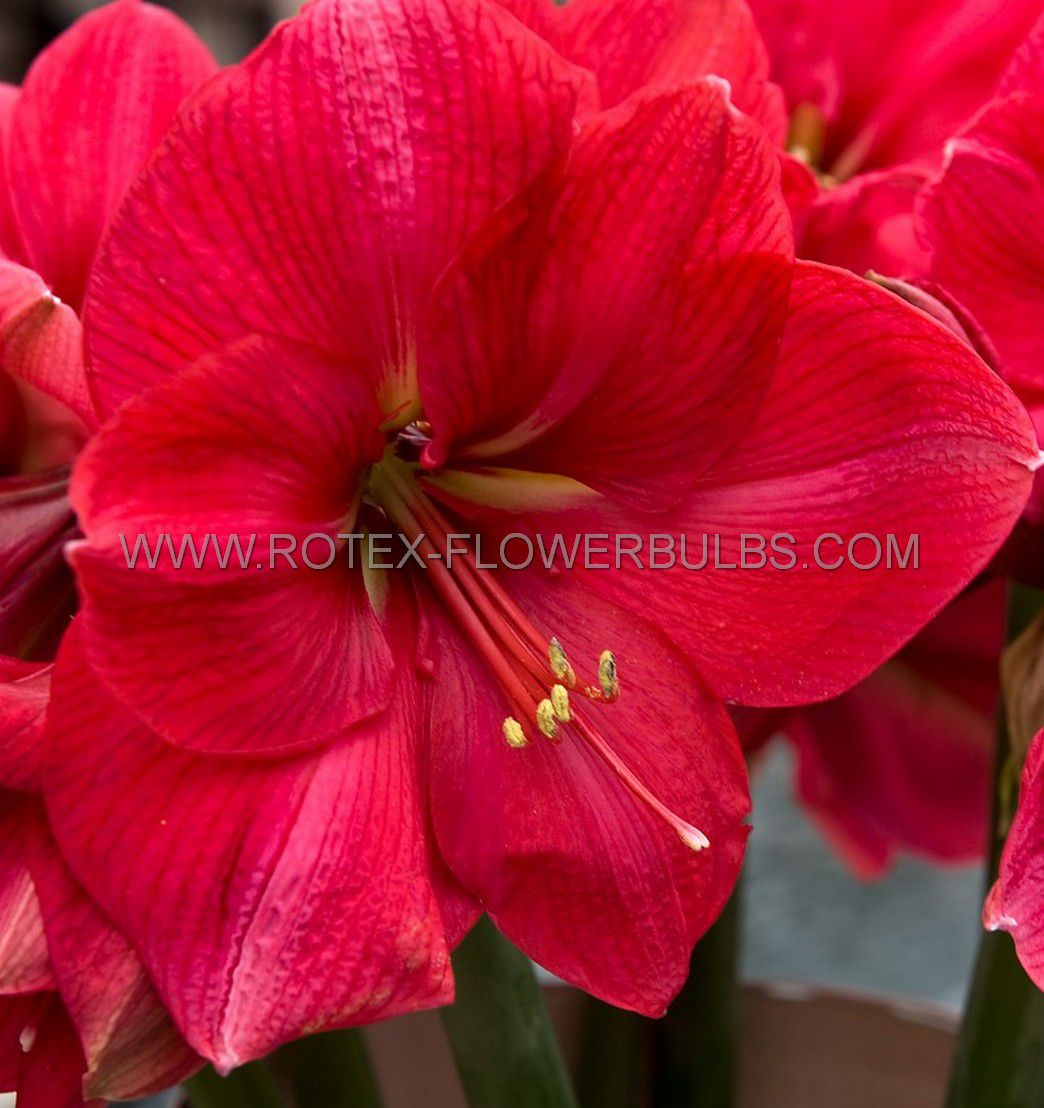 hippeastrum amaryllis large flowering pink rival 3436 cm 6 popen top box