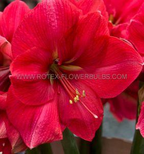 HIPPEASTRUM (AMARYLLIS) LARGE FLOWERING 'PINK RIVAL' 34/36 CM. (6 P.OPEN TOP BOX)