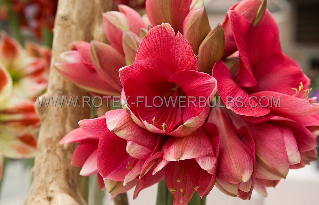 hippeastrum amaryllis large flowering pink rival 3436 cm 6 popen top box