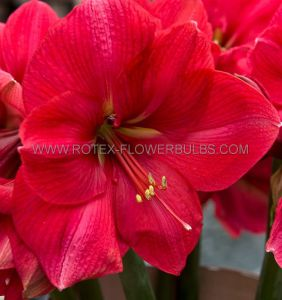HIPPEASTRUM (AMARYLLIS) LARGE FLOWERING 'PINK RIVAL' 34/36 CM. (12 P.WOODEN CRATE)