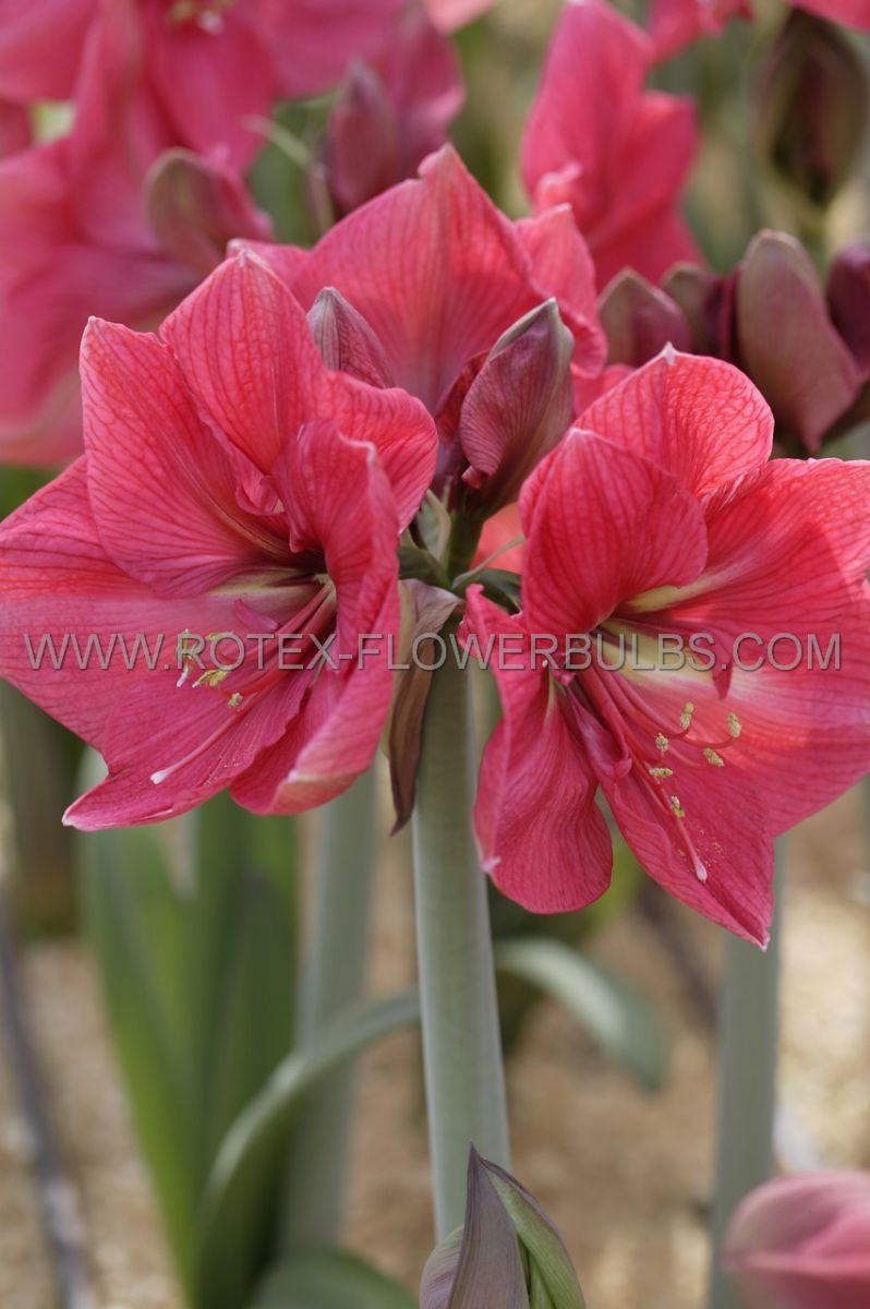 hippeastrum amaryllis large flowering pink rival jumbo 4042 cm 6 pwooden crate