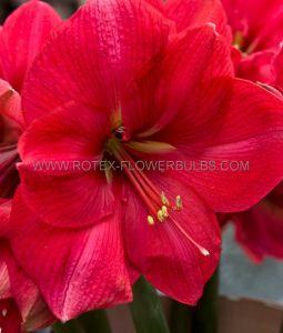 HIPPEASTRUM (AMARYLLIS) LARGE FLOWERING 'PINK RIVAL' JUMBO 40/42 CM. (25 P.CARTON)