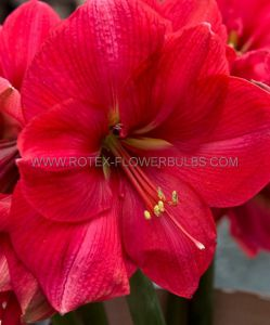 HIPPEASTRUM (AMARYLLIS) LARGE FLOWERING 'PINK RIVAL' JUMBO 40/42 CM. (4 P.OPEN TOP BOX)