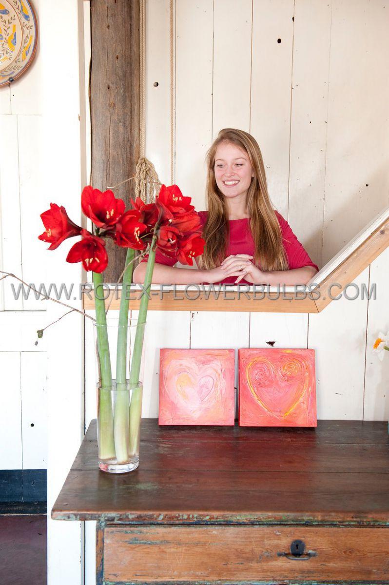 hippeastrum amaryllis large flowering red lion 2830 cm 8 popen top box