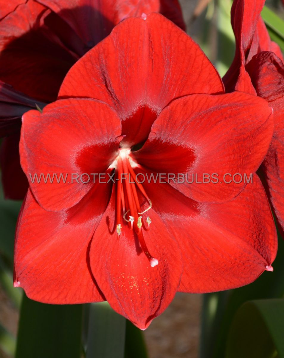 hippeastrum amaryllis large flowering red lion 3436 cm 6 popen top box