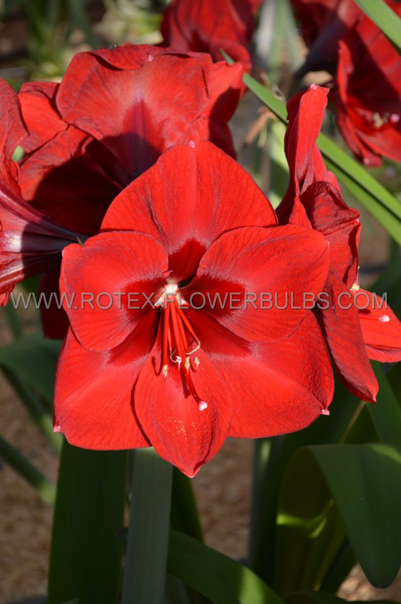 hippeastrum amaryllis large flowering red lion 3436 cm 12 pwooden crate