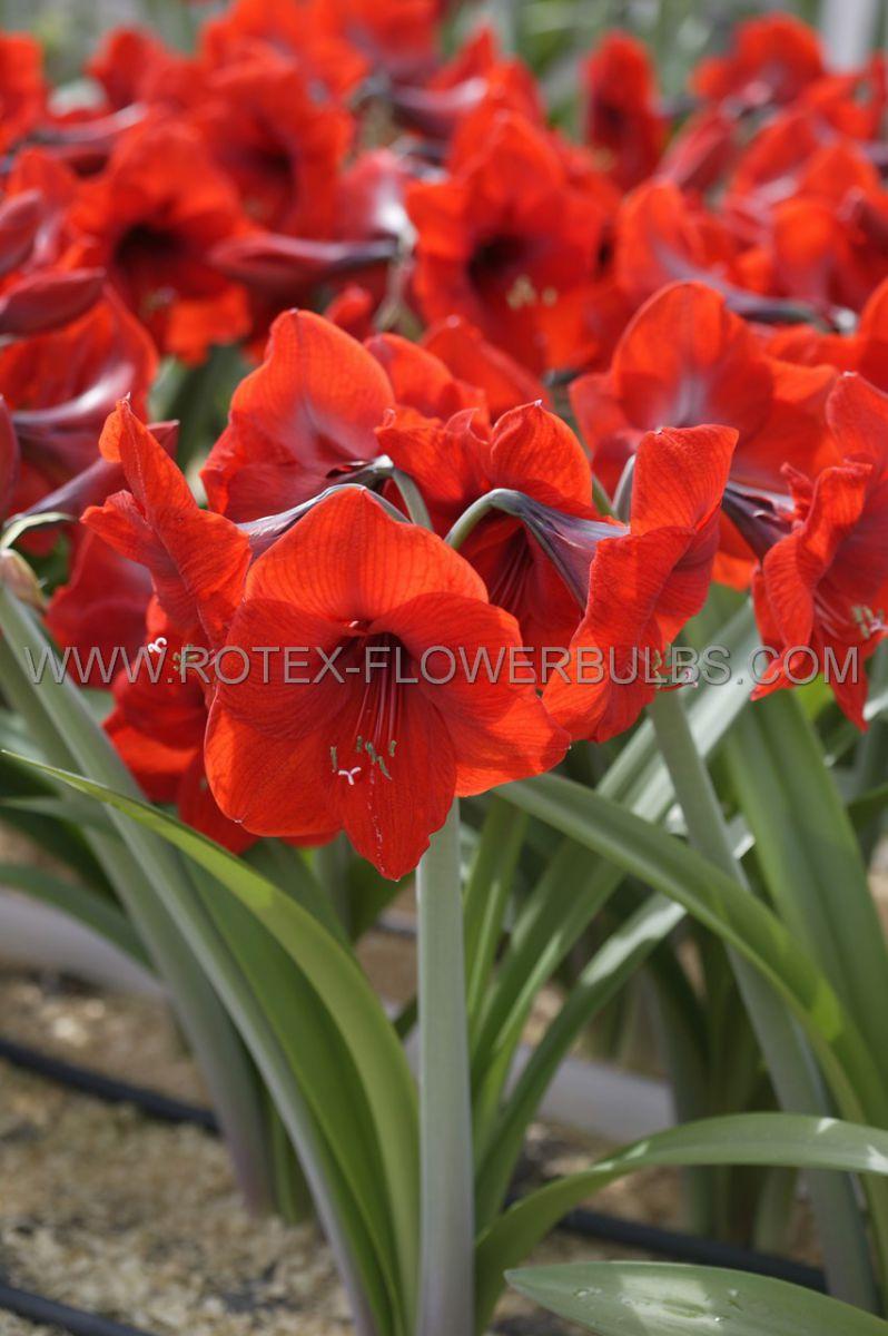 hippeastrum amaryllis large flowering red lion jumbo 4042 cm 4 popen top box