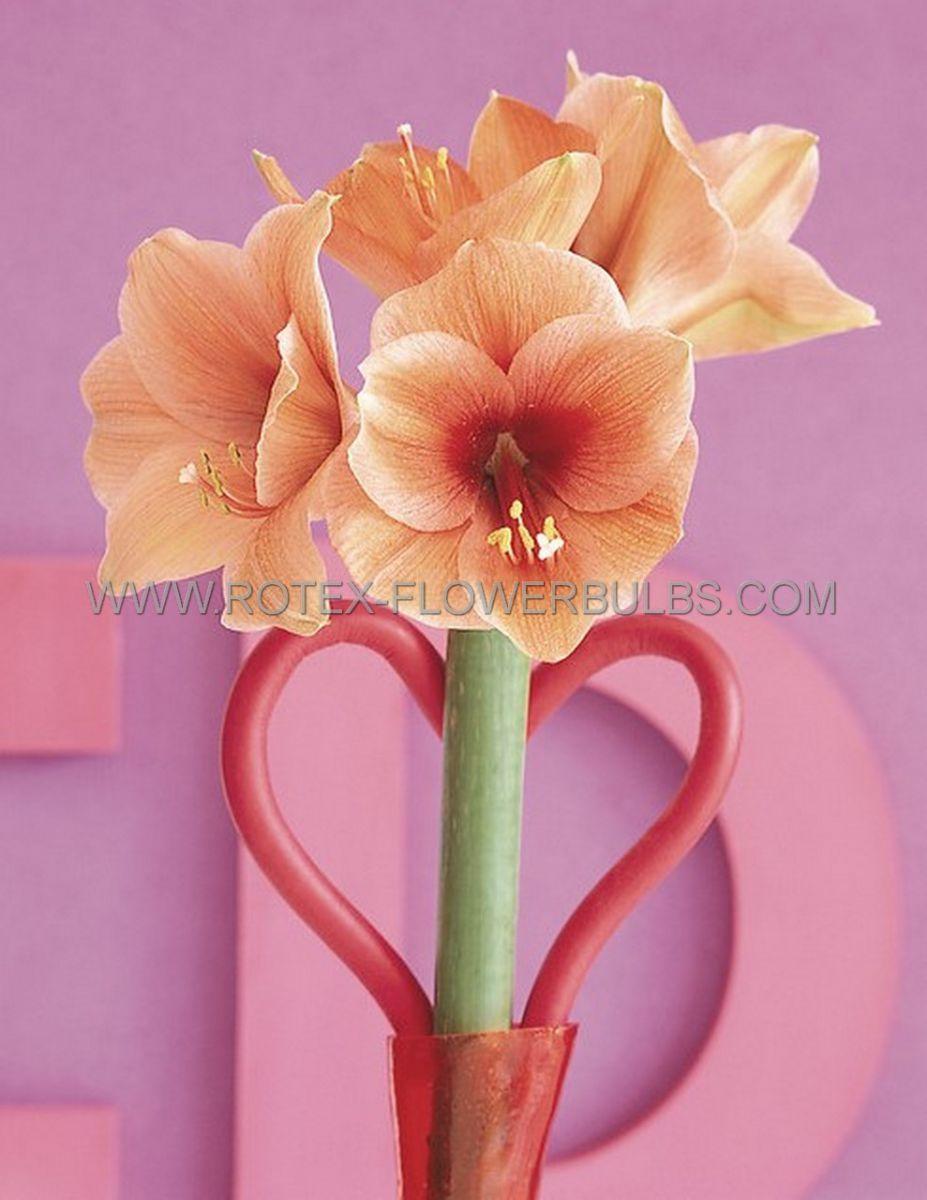 hippeastrum amaryllis large flowering rilona 3436 cm 30 pcarton