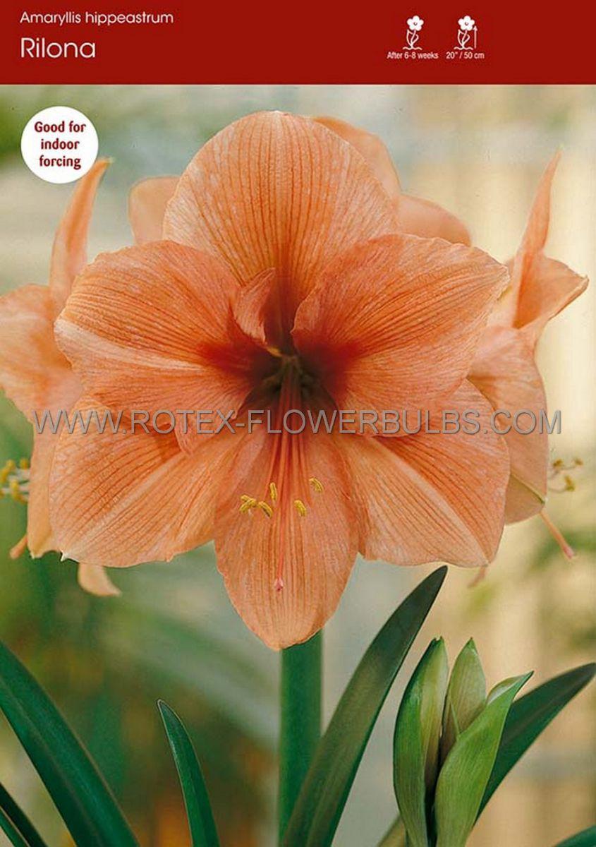 hippeastrum amaryllis large flowering rilona 3436 cm 6 popen top box