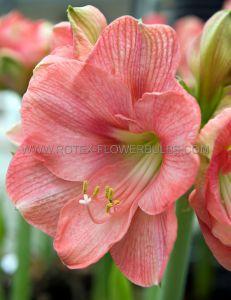 HIPPEASTRUM (AMARYLLIS) LARGE FLOWERING 'SUSAN' 28/30 CM. (8 P.OPEN TOP BOX)
