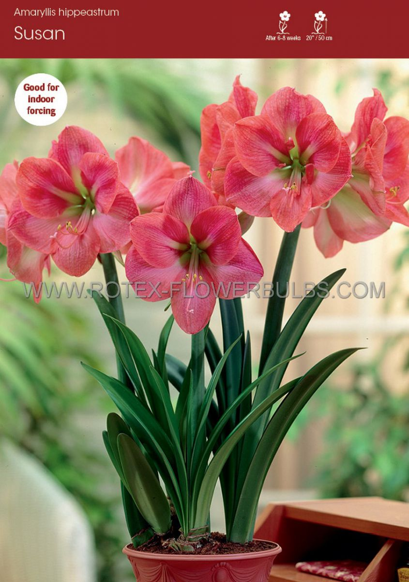 hippeastrum amaryllis large flowering susan 2830 cm 8 popen top box
