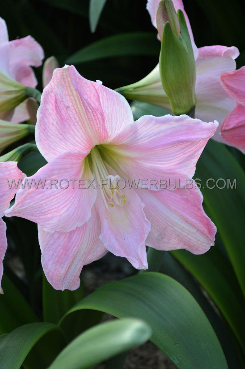 hippeastrum amaryllis large flowering sweet star 3436 cm 6 popen top box