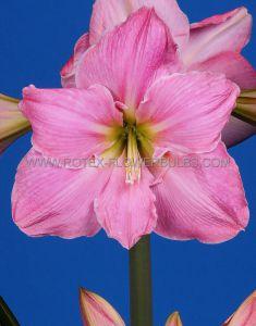 HIPPEASTRUM (AMARYLLIS) LARGE FLOWERING 'SWEET STAR' 34/36 CM. (12 P.WOODEN CRATE)