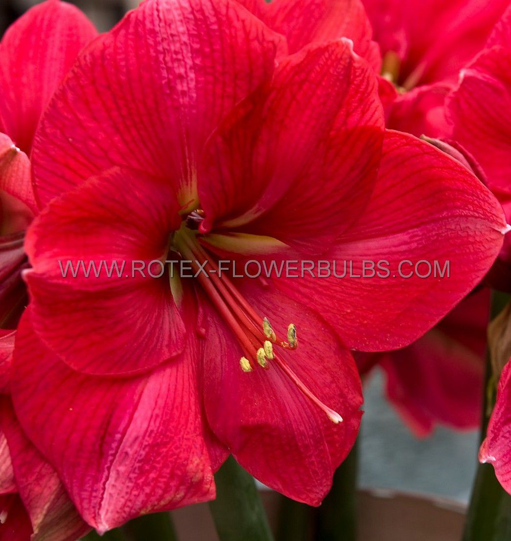 hippeastrum amaryllis large flowering vera 2830 cm 8 popen top box