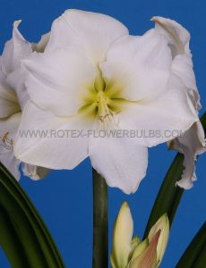 HIPPEASTRUM (AMARYLLIS) LARGE FLOWERING 'WHITE LADY' 28/30 CM. (8 P.OPEN TOP BOX)