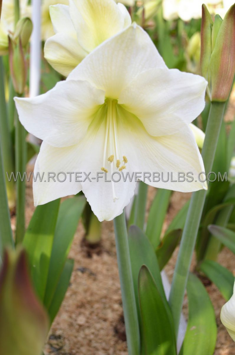hippeastrum amaryllis large flowering white lady 2830 cm 8 popen top box