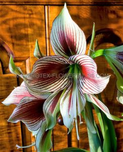 HIPPEASTRUM (AMARYLLIS SPECIALTY) BUTTERFLY 'PAPILLIO' 24/26 CM. (18 P.WOODEN CRATE)