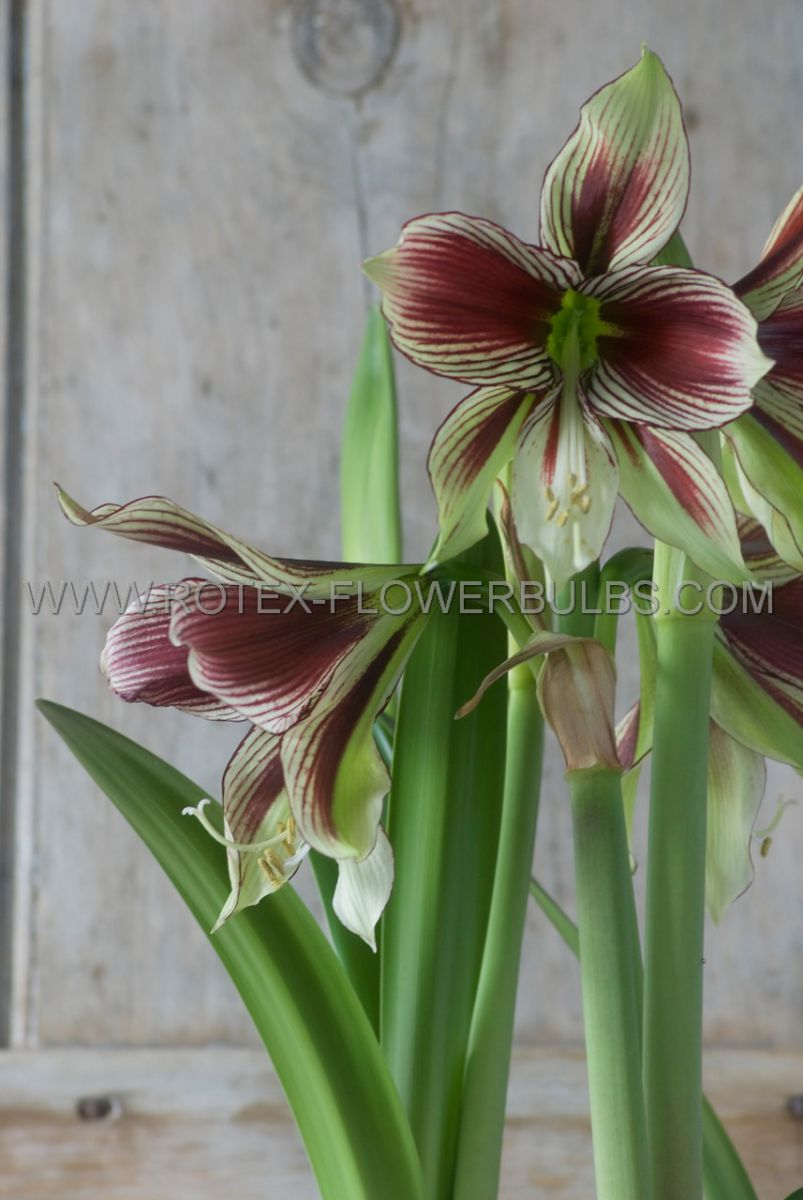 hippeastrum amaryllis specialty butterfly papillio 2426 cm 18 pwooden crate