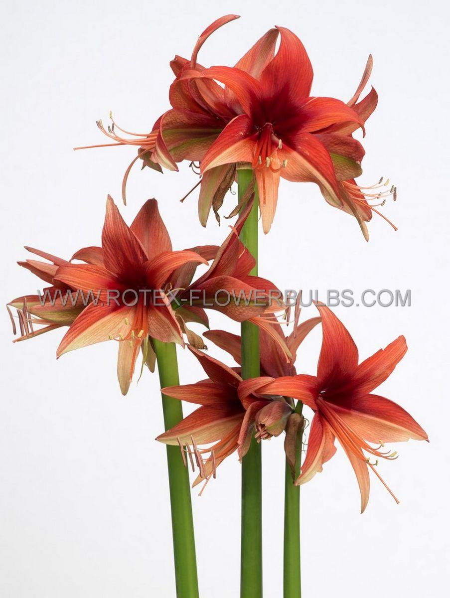 hippeastrum amaryllis specialty cybister bogota 2628 cm 6 popen top box