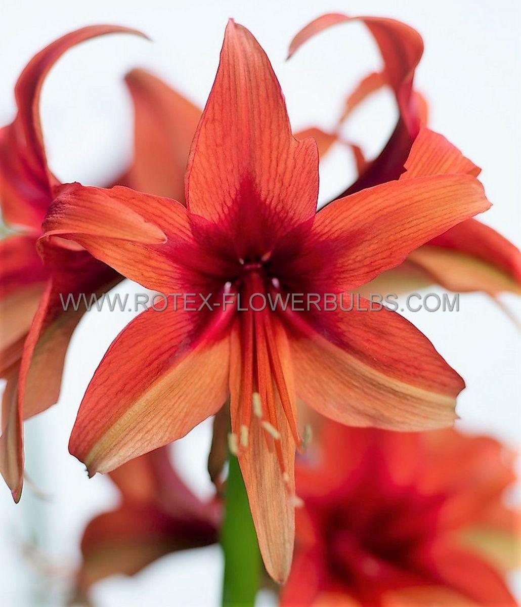 hippeastrum amaryllis specialty cybister bogota 2628 cm 30 pcarton