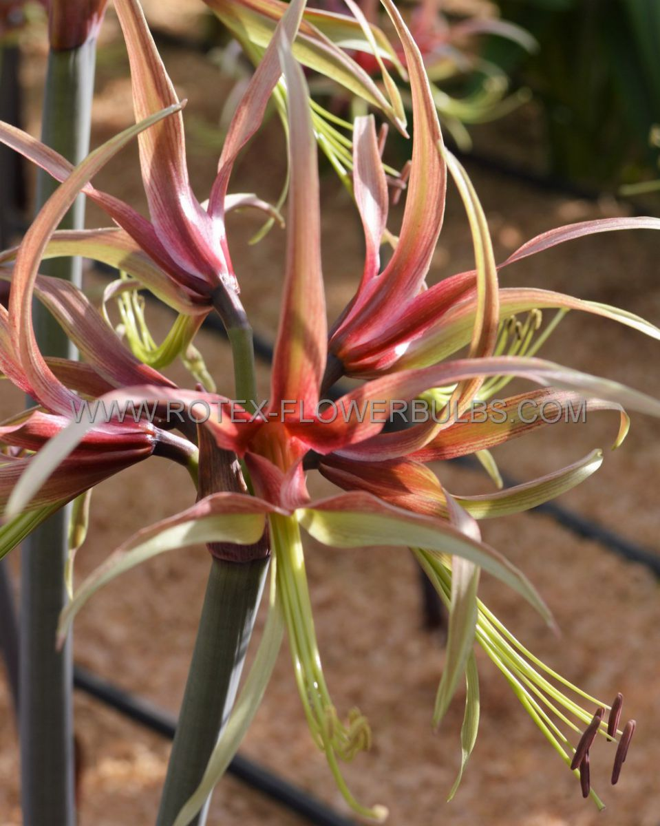 hippeastrum amaryllis specialty cybister chico 2628 cm 18 pwooden crate