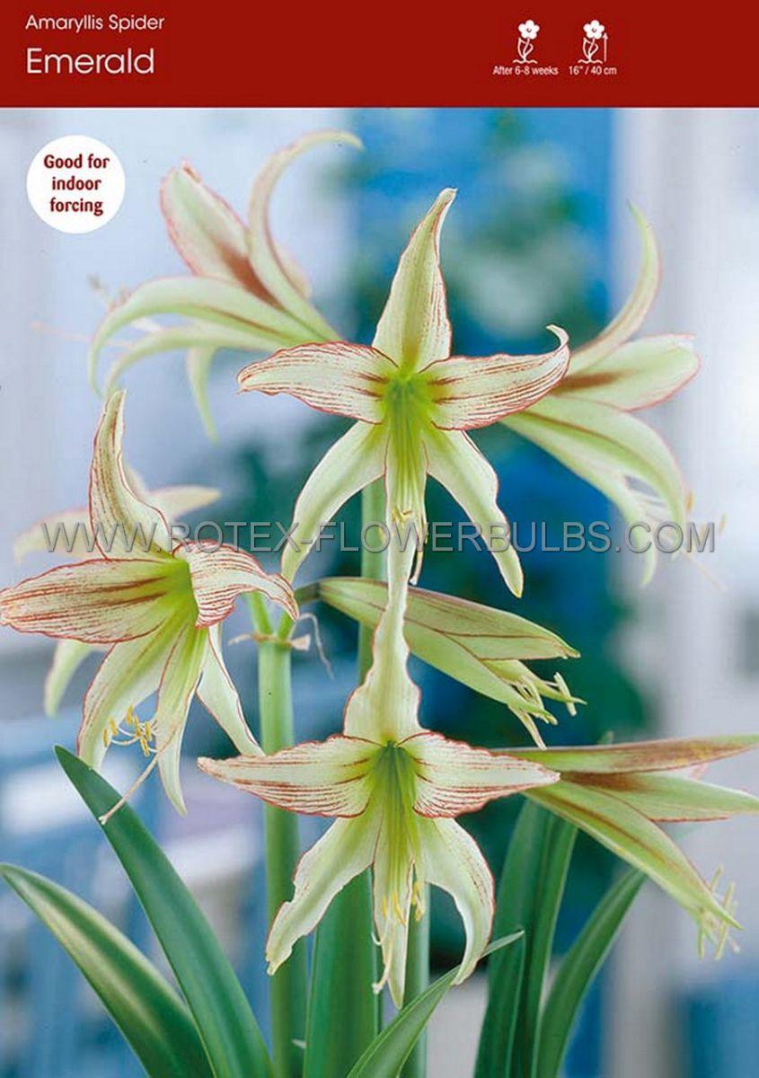 hippeastrum amaryllis specialty cybister emerald 2628 cm 6 popen top box