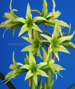 HIPPEASTRUM (AMARYLLIS SPECIALTY) CYBISTER 'EVERGREEN' 26/28 CM. (6 P.OPEN TOP BOX)
