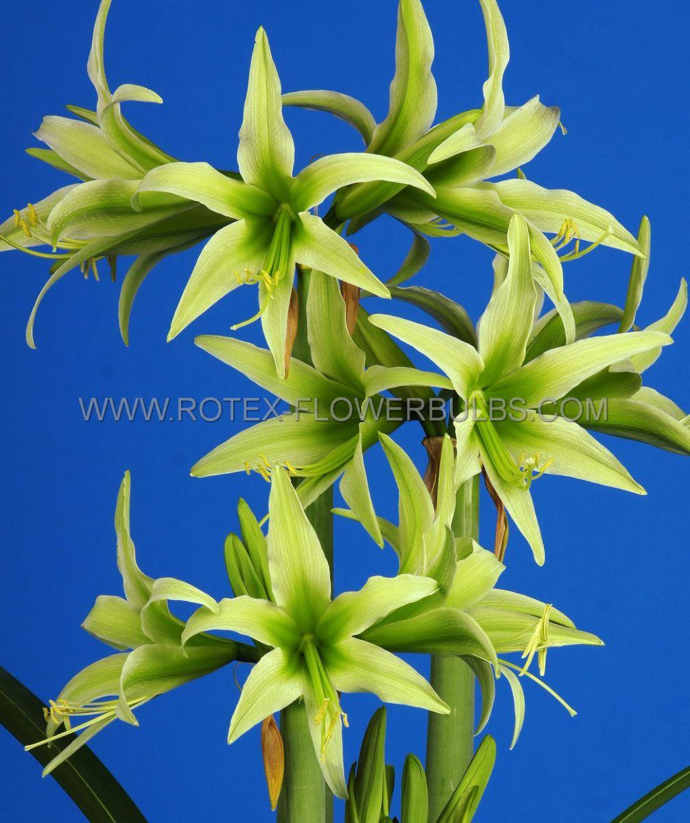 hippeastrum amaryllis specialty cybister evergreen 2628 cm 30 pcarton