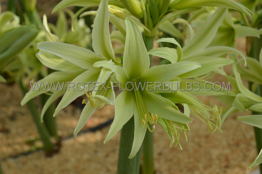 hippeastrum amaryllis specialty cybister evergreen 2628 cm 18 pwooden crate