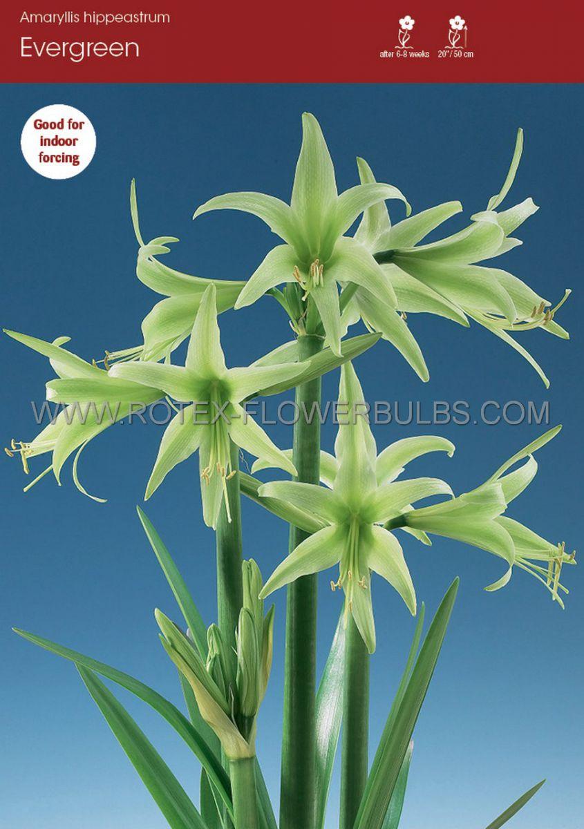 hippeastrum amaryllis specialty cybister evergreen 2628 cm 6 popen top box