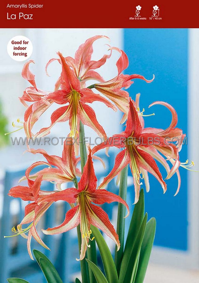 hippeastrum amaryllis specialty cybister la paz 2628 cm 6 popen top box
