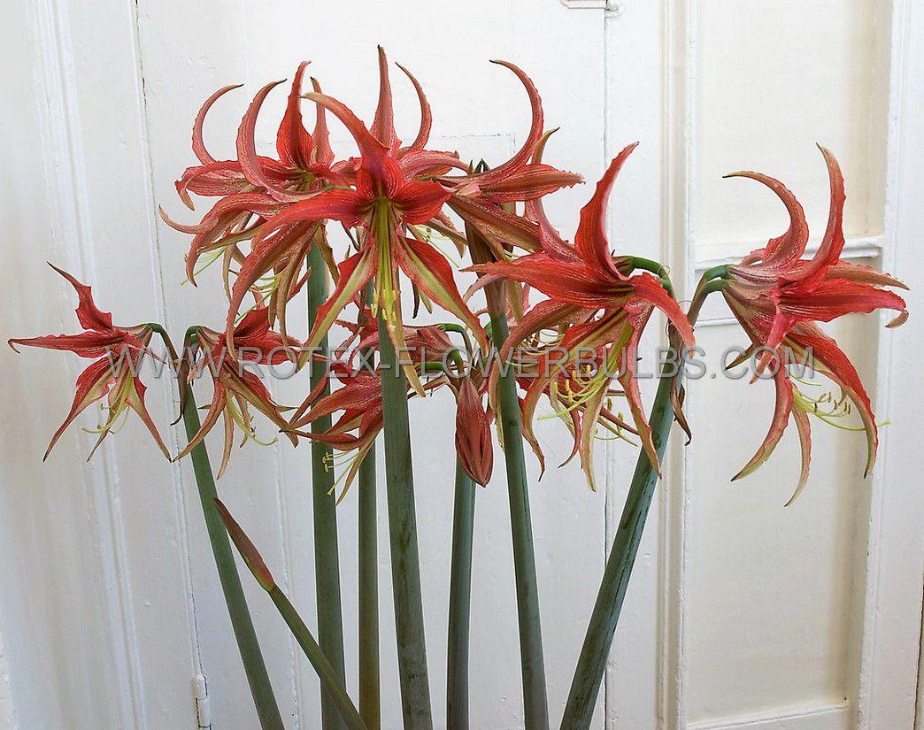 hippeastrum amaryllis specialty cybister la paz 2628 cm 30 pcarton