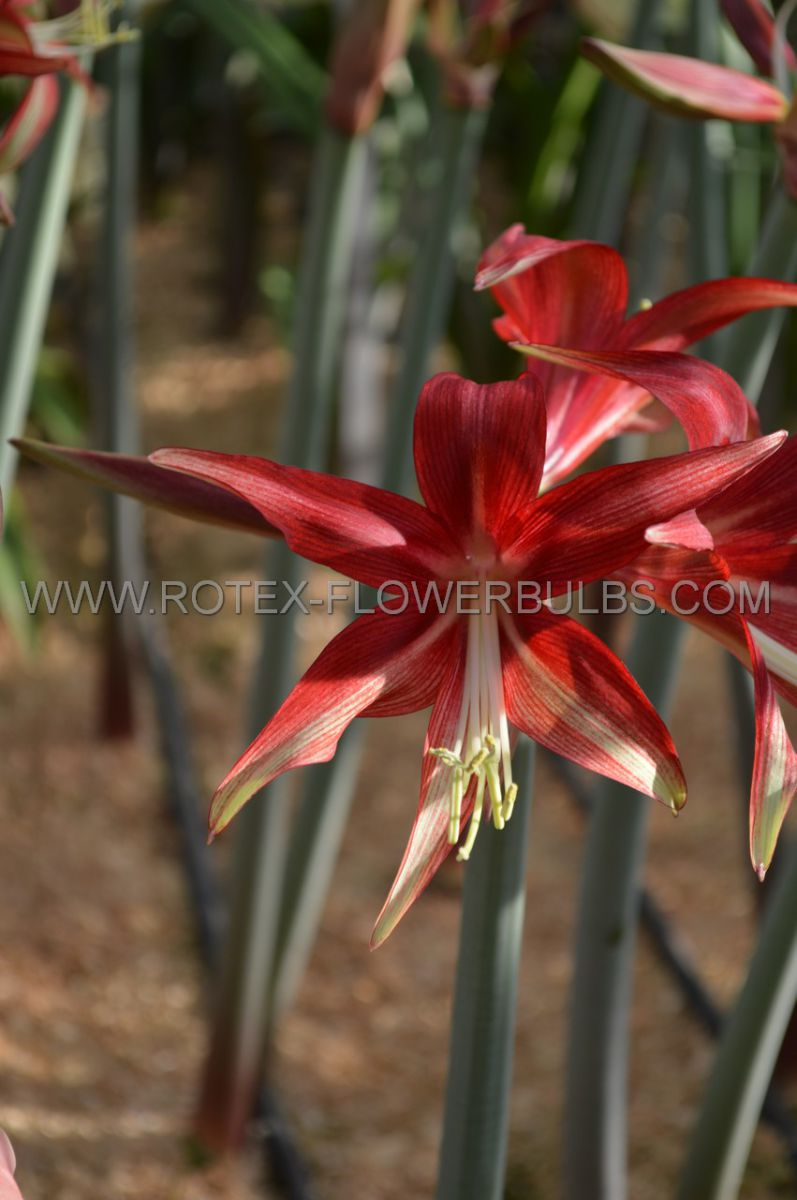 hippeastrum amaryllis specialty cybister quito 2628 cm 18 pwooden crate