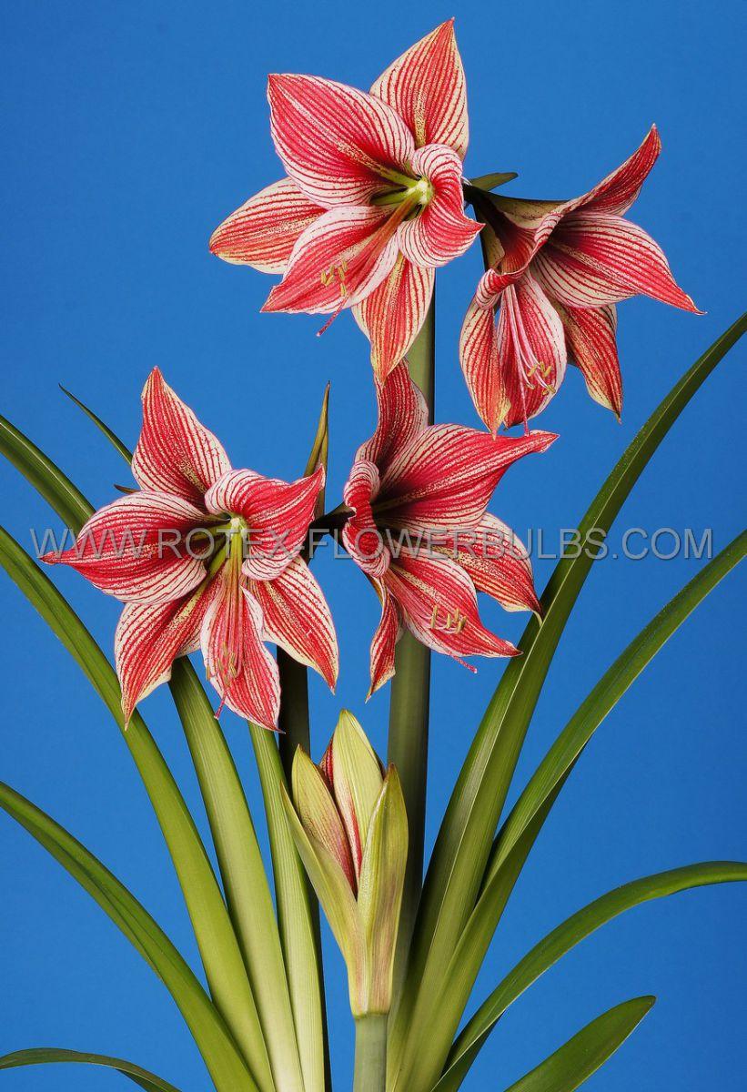 hippeastrum amaryllis specialty diamond exotic star 2628 cm 6 popen top box